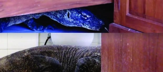Dragão-de-komodo encontrado na Indonésia