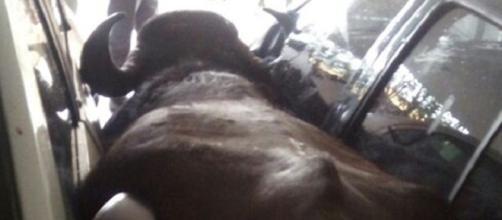O animal precisou ser abatido e uma pessoa acabou ferida
