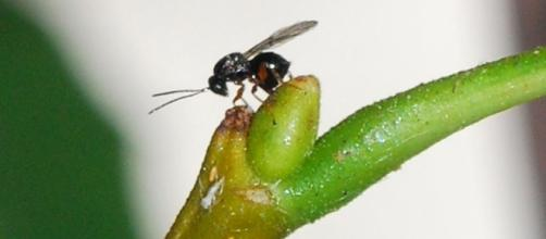 """Il cinipide, la cosiddetta """"vespa cinese"""""""