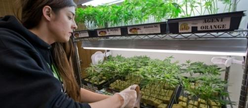 4 stati dicono Si all'uso ricreativo della cannabis