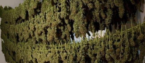 The Legalization of Marijuana in California? - Weed Finder™ News ... - weedfinder.com