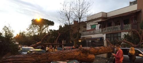 Un pino secolare caduto in via Palermo a Ladispoli
