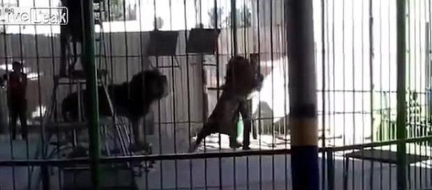 Momentul șocant când un leu îl atacă pe dresor la o reprezentație de circ din Egipt, rănindu-l mortal pe dresor - Captură YouTube