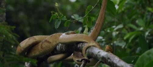 Jararaca-ilhoa, espécie de serpente que é a única moradora da Ilha