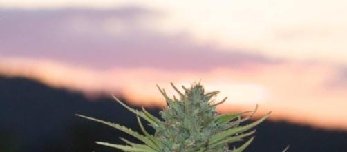 marijuana legale in california