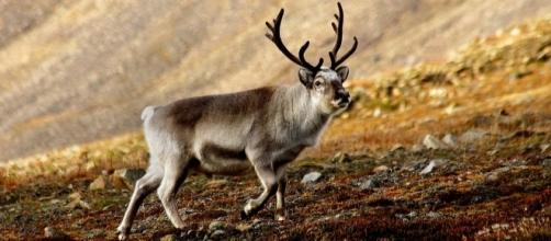 A Svalbard reindeer - Photo by Per Harald Olsen, Wikimedia