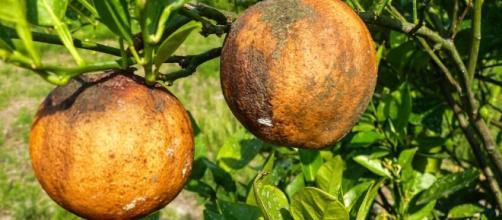 Citrus Greening Symptoms–Mummified Fruit - GroveTracks - Florida ... - grovetracks.com