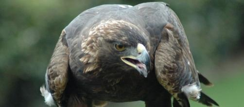 545 golden eagles get killed each year by wind farms. Photo by J. Glover, Atlanta, GA, Wikimedia.