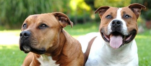 American Pit Bull Terrier, una raza única con una gran historia
