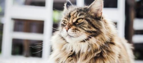 Averigua cuáles son las razas de gatos más bonitas del mundo