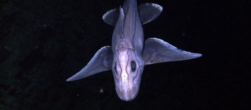 Mysterious Ghost Shark emerges from the depths - (Carrie Davis)