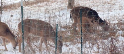Deer in author's yard last week,credit John A. McCormick