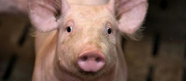 De ce nu consumă musulmanii carne de porc