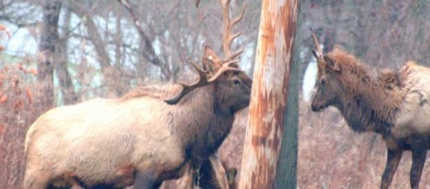 Elk in central PA, photo by author John A. McCormick