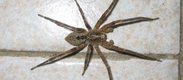 Shock per una giovane donna: Un ragno violino velenoso la morde ... - newsitaliane.it