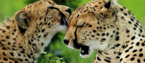 Foto Le coccole dei ghepardi e le altre grandi foto della ... - nationalgeographic.it