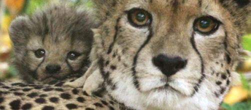 Half the World's Cheetahs Will Be Gone in 15 Years - The Atlantic - theatlantic.com