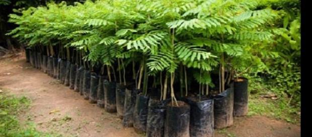 Imagens da carborinha atualmente a planta é muito encontrada no sul e sudeste do Brasil.