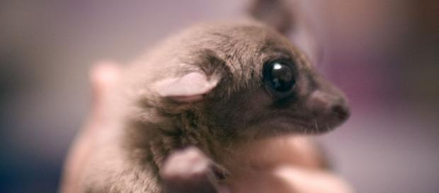 Roussetus aegyptiacus - Flickr