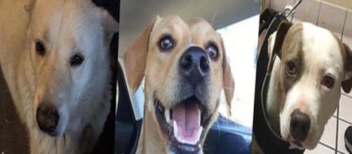 Cani abusati in California, salvati dai volontari