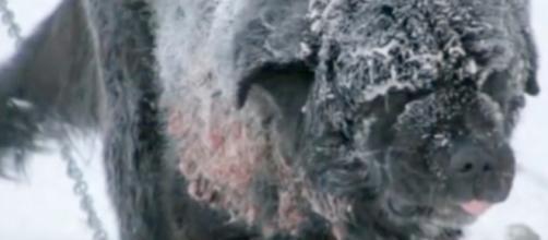 Diesel, o cão que ficou acorrentado na neve, foi libertado