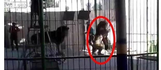 Vídeo mostra o momento em que o leão ataca o domador