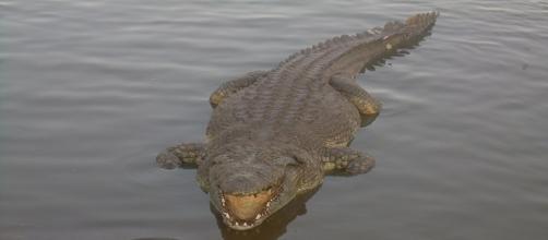 """Un bellissimo esemplare di coccodrillo, uno degli """"amici"""" di JJ McDonald"""