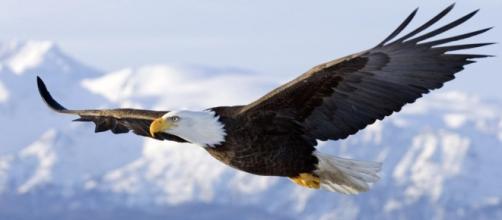 Águila imperial volando en montañas holandesas.