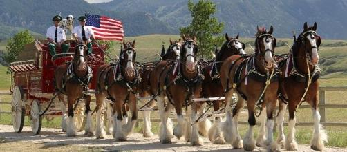 The Budweiser Clydesdales will be in Super Bowl 50