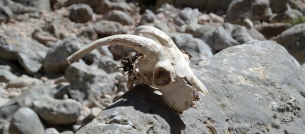 Animal skull. Image courtesy Pixabay