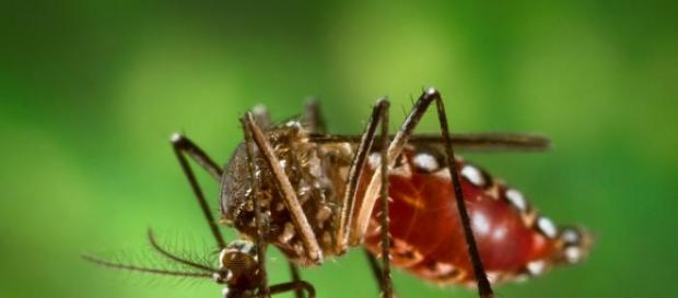 Mosquito é o vetor principal da doença