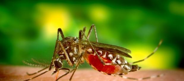 Mosquito transmissor da dengue, Zika e Chicungunha