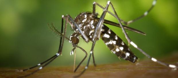 Aedes aegypti, principal transmissor do Zika