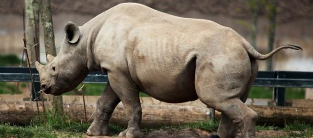 Black rhino image from Pixabay