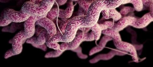 Bacteria Campylobacter, resistente a antibióticos