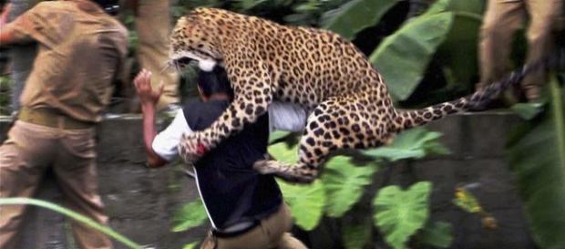 Leopardo atacando a una persona en 2012