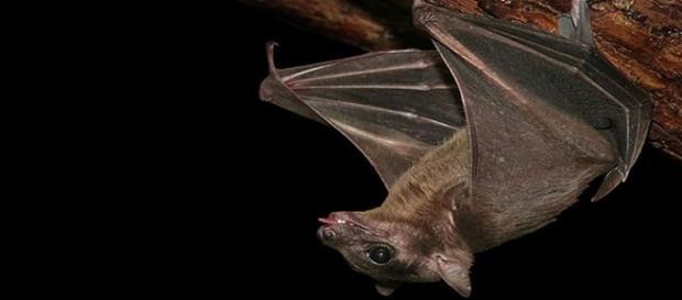 Los murciélagos hematófagos se alimentan de sangre