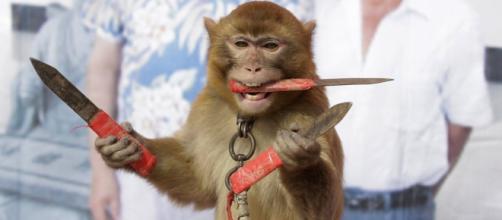 Macacos usados para entretener a los turistas