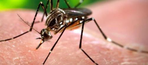 Mosquito transmisor de zika / Wikimedia