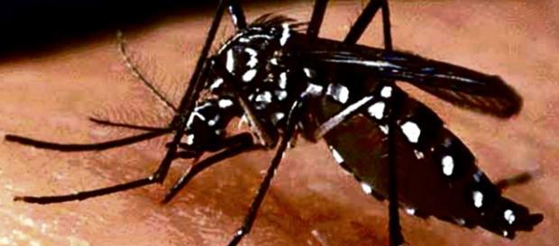 Mosquito portador del virus zika