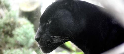 Black Panther. Image: pixabay.com
