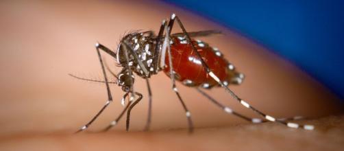 Le zanzare sono il principale vettore dello zika