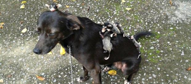 Pretinha e os seus bebês gambá