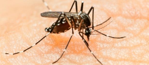 Un esemplare di zanzara Aedes aegypti