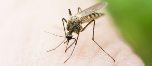 El Aedes aegypti, responsable del virus zika