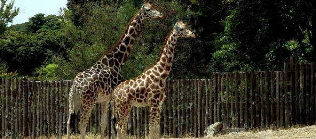 Le giraffe nel loro ambiente dedicato