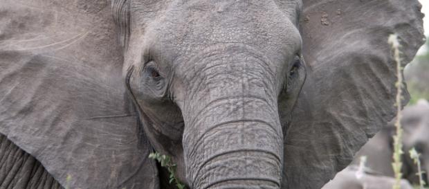 African Elephant in attentive position (Wikipedia)