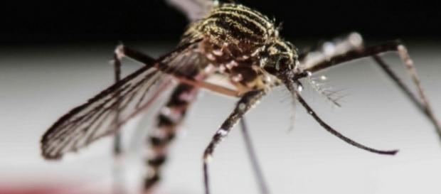 Mosquito que transmite a Zika - Imagem da Internet