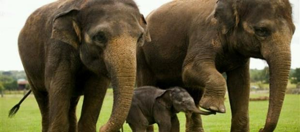 Fotogrfía de Elefantes con una cría