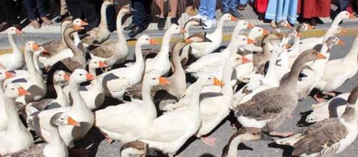 Desfile de gansos en Palos. FOTO: GARDEU